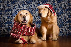 Hintergrundbilder Hunde Golden Retriever 2 Mütze Schal
