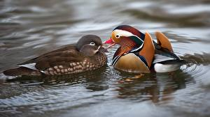 Fotos Ente Wasser 2 Mandarin