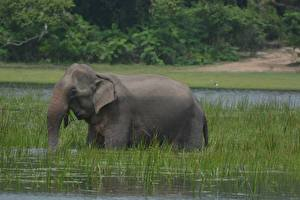 Pictures Elephants Water Grass animal