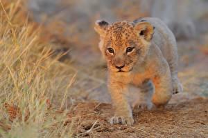Fotos Löwen Babys Starren