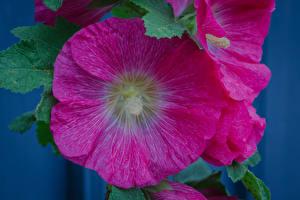 Bilder Malven Großansicht Rosa Farbe Blumen