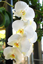 Images Orchid Closeup White Flowers