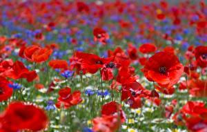 Hintergrundbilder Mohn Felder Großansicht Blüte