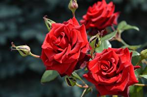 Bilder Rosen Hautnah Rot Blumen