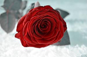 Fotos Rose Großansicht Schnee Rot Blüte
