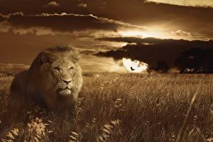 Bilder Morgendämmerung und Sonnenuntergang Große Katze Löwen Gras Starren ein Tier
