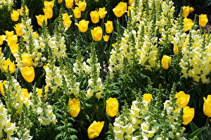 Pictures Tulips Snapdragons Closeup Flowers