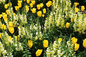 Fotos Tulpen Löwenmäuler Hautnah Blumen