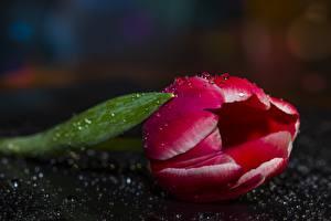 Fotos Tulpen Großansicht Tropfen Blüte