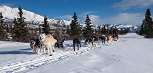 Fotos Winter Gebirge Hunde Schnee Fichten Laufsport Siberian Husky Weg Schlitten