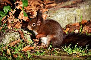 Bilder Herbst Eichhörnchen
