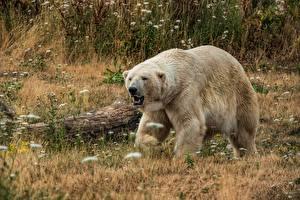Wallpapers Bears Polar bears Grass