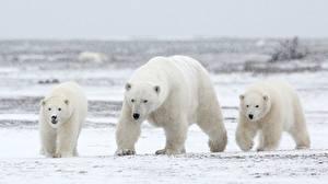 Images Bears Polar bears Three 3 Animals