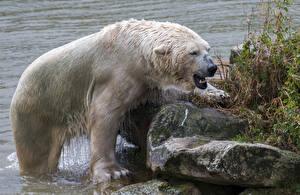 Wallpapers Bears Stones Polar bears