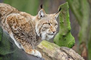 Images Big cats Lynx Paws Staring