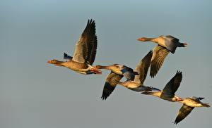 Hintergrundbilder Vogel Gänse Flug ein Tier