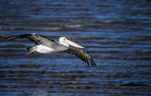 Hintergrundbilder Vogel Pelikane Flug