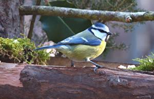 Bilder Vögel Ast Tit Tiere