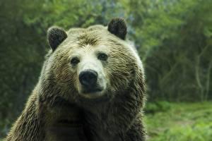 Bilder Bären Braunbär Schnauze Blick Nase