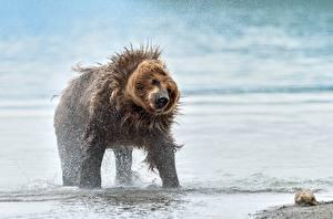 Bilder Ein Bär Braunbär Spritzwasser ein Tier