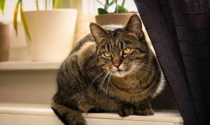 Bilder Katzen Starren Schnurrhaare Vibrisse Tiere