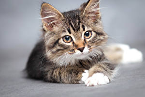 Picture Cats Gray background Kittens Staring Snout