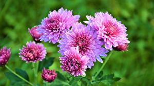Fotos Chrysanthemen Rosa Farbe Blumen