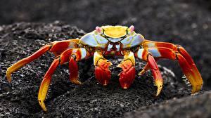 Bilder Krabben Großansicht Tiere