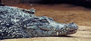 Hintergrundbilder Krokodile Eckzahn Kopf Tiere