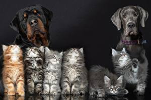Hintergrundbilder Hunde Hauskatze Rottweiler Katzenjunges Tiere