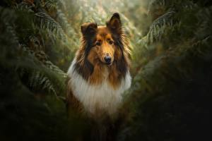 Picture Dog Collie