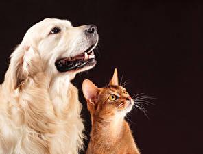 Bilder Hunde Golden Retriever Hauskatze Zwei Starren Tiere