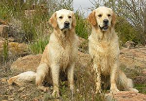 Bilder Hunde Golden Retriever Zwei