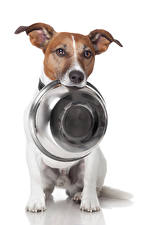 Picture Dogs White background Jack Russell terrier Plate