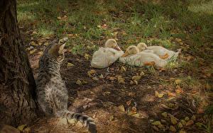 Fotos Ente Katze Drei 3