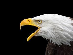 Pictures Eagle Closeup Black Beak Head bald eagle Animals