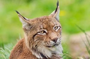 Wallpaper Eyes Lynxes Head Glance Whiskers animal