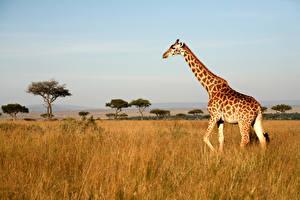 Fotos Giraffe Gras