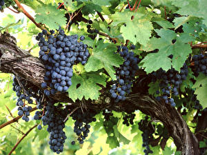 Pictures Grapes Branches Leaf Food