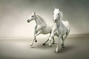 Fotos Pferd Lauf 2 Weiß ein Tier
