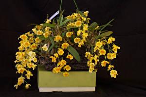 Bilder Orchideen Schwarzer Hintergrund Gelb Blumen