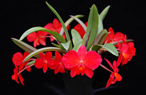 Pictures Orchid Closeup Black background Red Flowers