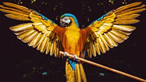 Fotos Papagei Vogel Eigentliche Aras Flügel
