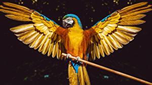 Pictures Parrot Bird Ara (genus) Wings