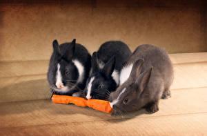 Bilder Kaninchen Mohrrübe Drei 3 Tiere