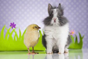 Hintergrundbilder Kaninchen Hühner Zwei Tiere