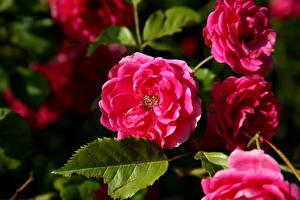 Bilder Rosen Großansicht Rosa Farbe Blumen