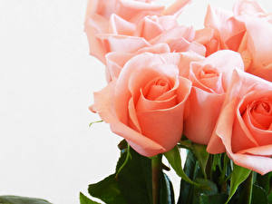 Bilder Rose Nahaufnahme Weißer hintergrund Rosa Farbe Blumen