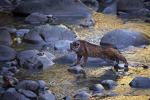 Wallpaper Stones Big cats Stream Wild cat