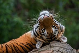 Hintergrundbilder Tiger Blick